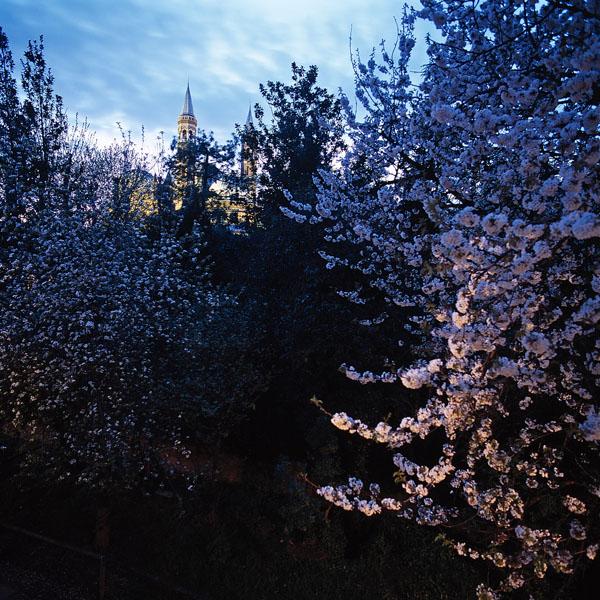 Cherry blossoms - 2001